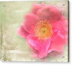 Heirloom Rose Acrylic Print by Catherine Alfidi