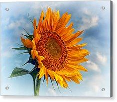 Helianthus Annuus Greeting The Sun Acrylic Print