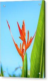 Heliconia Flower Acrylic Print