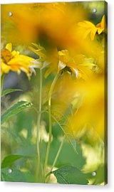 Heliopsis Blur Acrylic Print