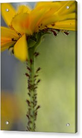 Heliopsis Infested Acrylic Print