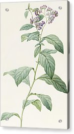 Heliotropium Corymbosurn Acrylic Print