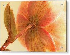 Hellebore Acrylic Print