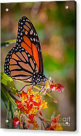Hello Butterfly Acrylic Print