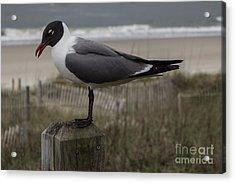Hello Friend Seagull Acrylic Print