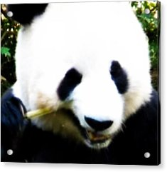 Hello Panda Acrylic Print