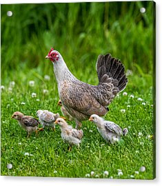 Hen And Chicks Acrylic Print