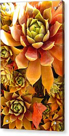 Hen And Chicks - Perennial Acrylic Print by Brooks Garten Hauschild