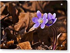 Hepatica Flower Acrylic Print by Michael Whitaker