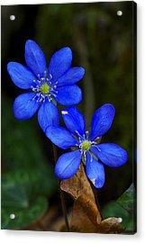 Hepatica Nobilis Acrylic Print