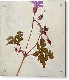 Herb Robert - Wild Geranium  #flower Acrylic Print