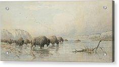Herd Of Buffalo Watering Acrylic Print