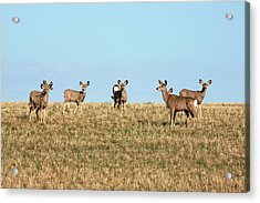 Herd Of Deer Acrylic Print