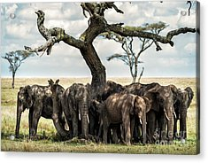 Herd Of Elephants Under A Tree In Serengeti Acrylic Print