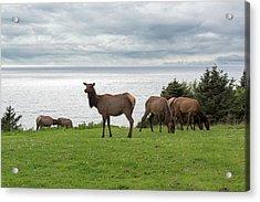 Herd Of Elk At Ecola State Park Acrylic Print