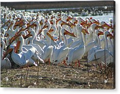Herd Of Pelicans Acrylic Print by Shari Morehead