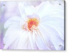 Here Comes The Bride - A Beautiful White Dahlia Acrylic Print
