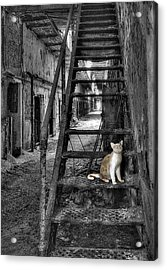 Here Kitty Kitty Kitty... Acrylic Print by Evelina Kremsdorf