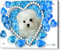 Hermes The Maltese And Blue Hearts Acrylic Print
