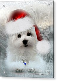 Hermes The Maltese At Christmas Acrylic Print by Morag Bates