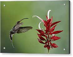 Hermit Hummingbird And Red Flower Acrylic Print by Juan Carlos Vindas