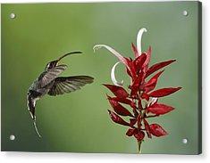 Hermit Hummingbird And Red Flower Acrylic Print by Juan Carlos Vindas