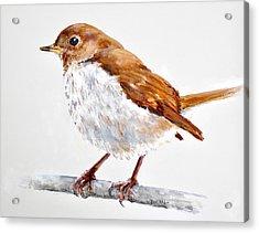 Hermit Thrush - Best 2017 - Acrylic Acrylic Print