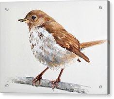 Hermit Thrush Acrylic Print