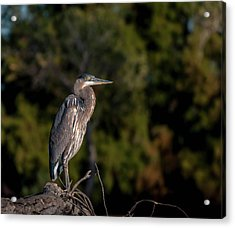 Heron At Sunrise Acrylic Print