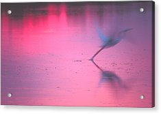 Heron At Sunset Acrylic Print