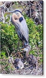 Heron Babies Acrylic Print