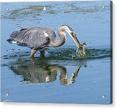 Great Blue Heron Catches A Fish Acrylic Print