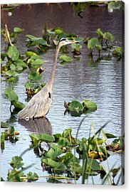 Heron Fishing In The Everglades Acrylic Print by Marty Koch