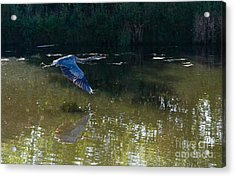 Acrylic Print featuring the photograph Heron Flight by Laurel Best