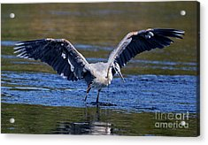 Heron Full Spread Acrylic Print
