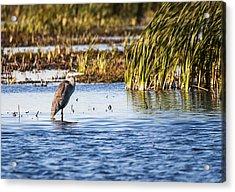 Heron - Horicon Marsh - Wisconsin Acrylic Print