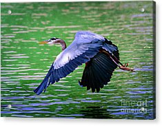 Heron In Flight At Honor Heights Park Acrylic Print
