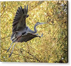 Heron In Flight Acrylic Print