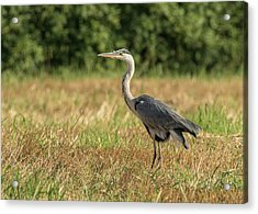 Heron In The Field Acrylic Print