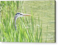 Heron In The Reeds Acrylic Print by Anita Oakley