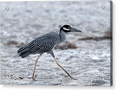 Yellow-crowned Night Heron On A Mission Acrylic Print