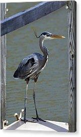 Heron Standing Acrylic Print by Kathleen Stephens