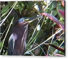 Heron With Yellow Eyes Acrylic Print