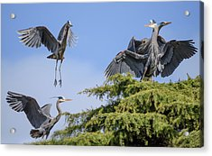Herons Mating Dance Acrylic Print by Keith Boone