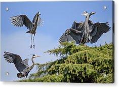 Herons Mating Dance Acrylic Print