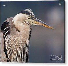 Herons Pause Acrylic Print