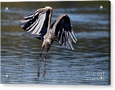 Great Blue Heron In Flight With Fish Acrylic Print