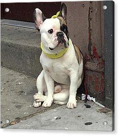 Hey, #bulldog! #harlem #nycdogs #nyclife Acrylic Print by Gina Callaghan