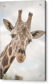 Hi There, I'm A Giraffe Acrylic Print by David Collins
