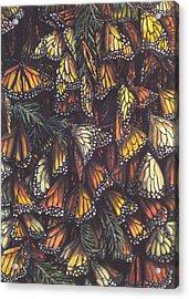 Hibernating Monarchs Acrylic Print by Sam Pearson